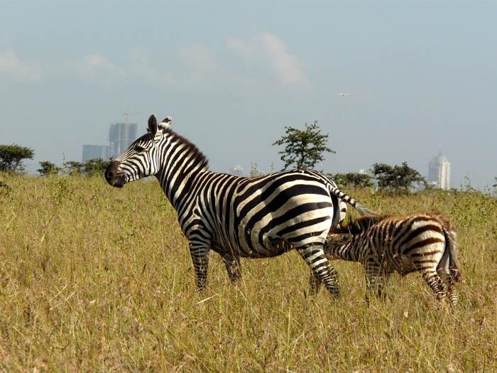 Zebra Böhmova na pozadí Nairobi