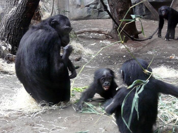 Šimpanz bonobo (Pan paniscus)