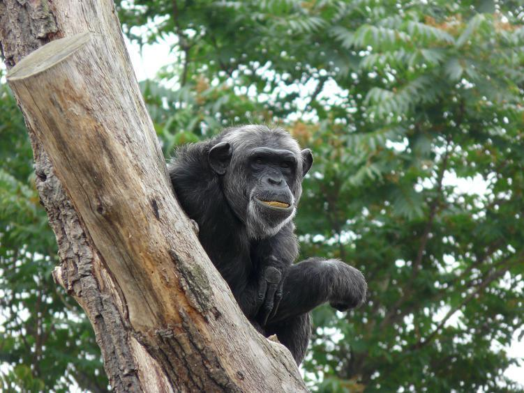 Šimpanz východní ( Pan troglodytes schweinfurthii), Dvůr Králové