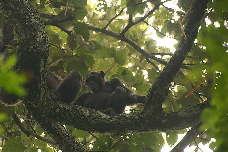 Šimpanz východní ( Pan troglodytes schweinfurthii) v N.P. Kibale (autor: Michal Šváb)