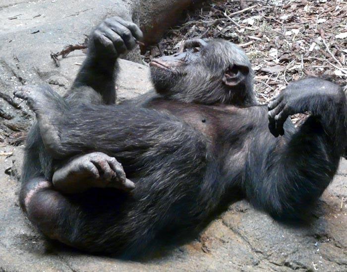 Šimpanz hornoguinejský (Pan troglodytes verus)
