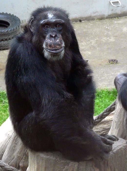 Šimpanz východní ( Pan troglodytes schweinfurthii), Liberec