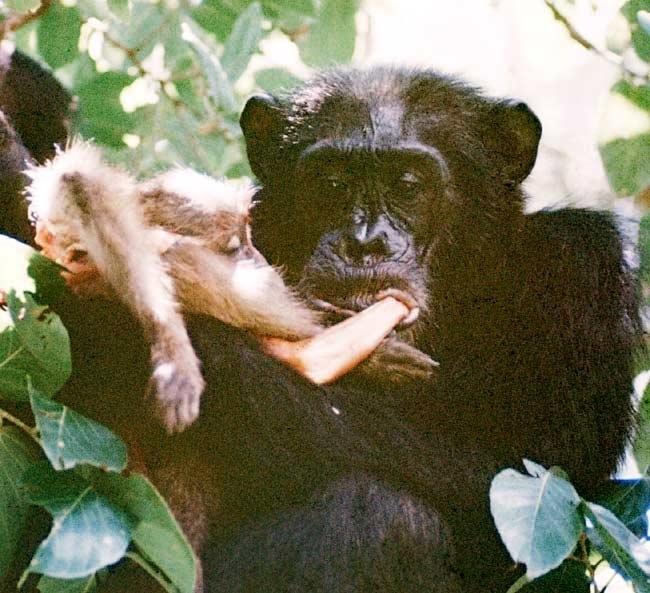 David Bygott - šimpanz jí mládě babuina
