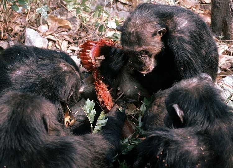 David Bygott - tlupa šimpanzů hoduje na úlovku