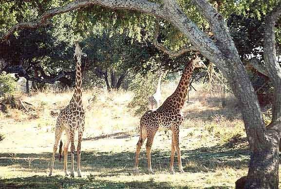 Žirafa Giraffa Zambie