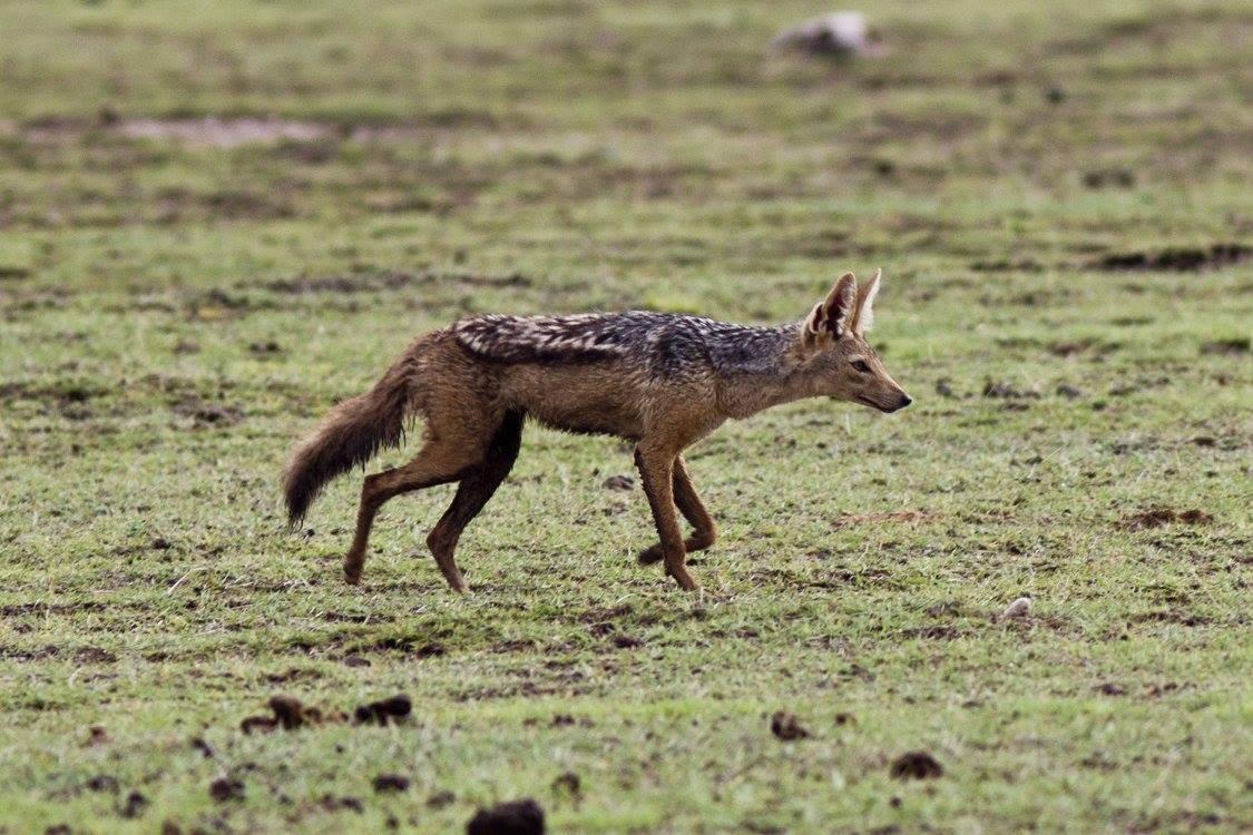 Šakal čabrakový (Canis mesomelas) (foto: Jana Hajduchová)