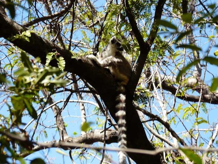 lemur kata, Isalo, Madagaskar