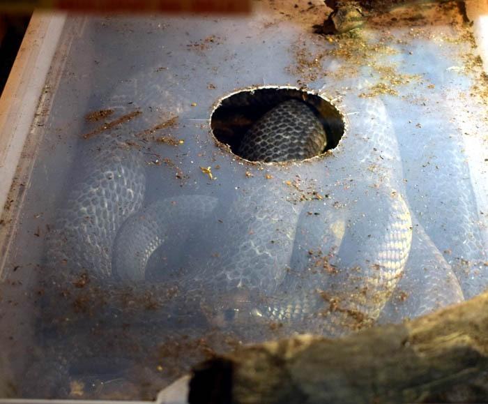 kobra Anchietova