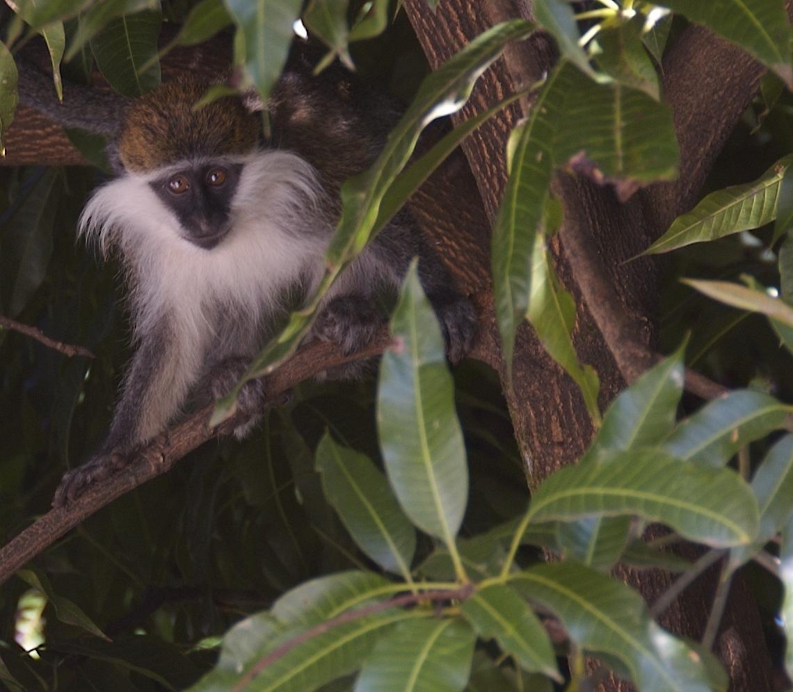 Kočkodan ďamďam v Etiopii (Autor: A. Davey)