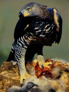 Orel korunkatý (Stephanoaetus coronatus) Crowned Eagle - autor: N. Myburg