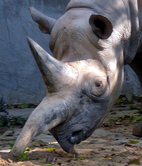 Nosorožec dvourohý (Diceros bicornis), Zoo Berlín