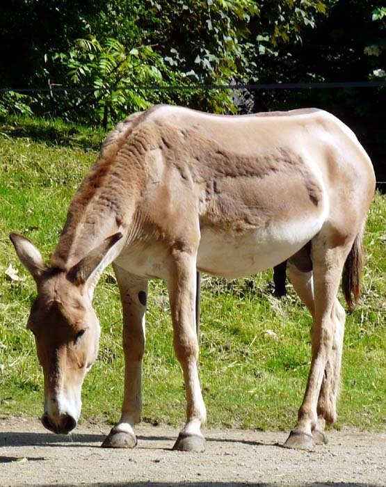 Osel asijský onager (Equus hemionus onager)