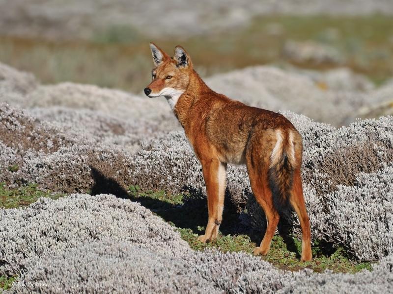 Vlček etiopský/Ethiopian Wolf (Canis simensis), autor: Nik Borrow