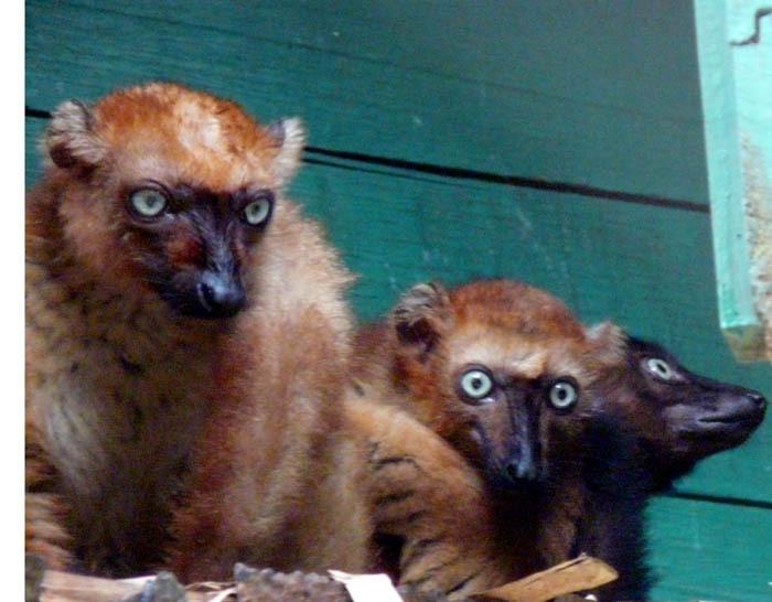 Lemur tmavý Sclaterův (Eulemur macaco flavifrons)