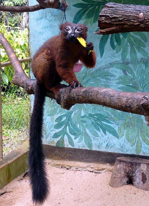 Lemur červenobřichý (Eulemur rubriventer)
