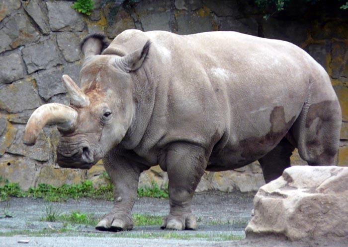 Fatu; Nosorožec tuponosý severní (Ceratotherium simum cottoni)