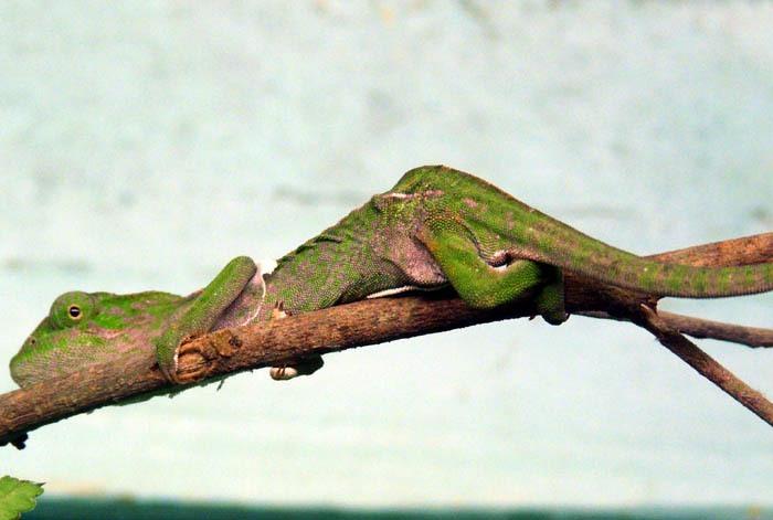 Chameleón kobercový (Furcifer lateralis)