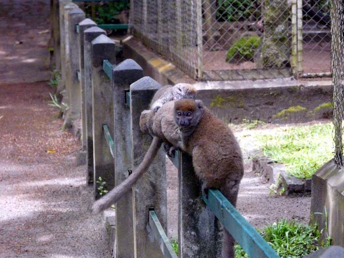 Lemur šedý (Hapalemur griseus)