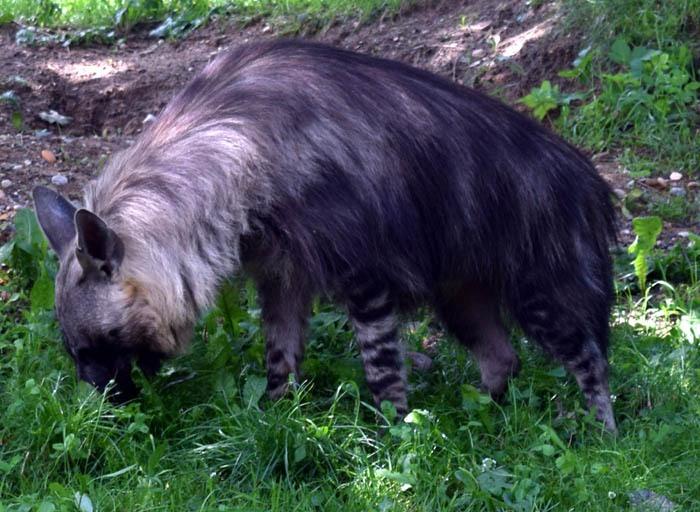 Hyena čabraková (Hyaena brunnea), Zoo Praha