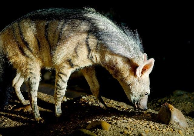 Josh More: hyenka hřivnatá