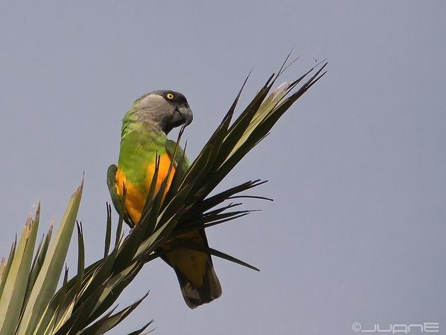 Juan Emilio: papoušek senegalský