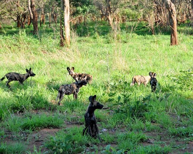 Kevin Harber: psi hyenovití v Selous Game
