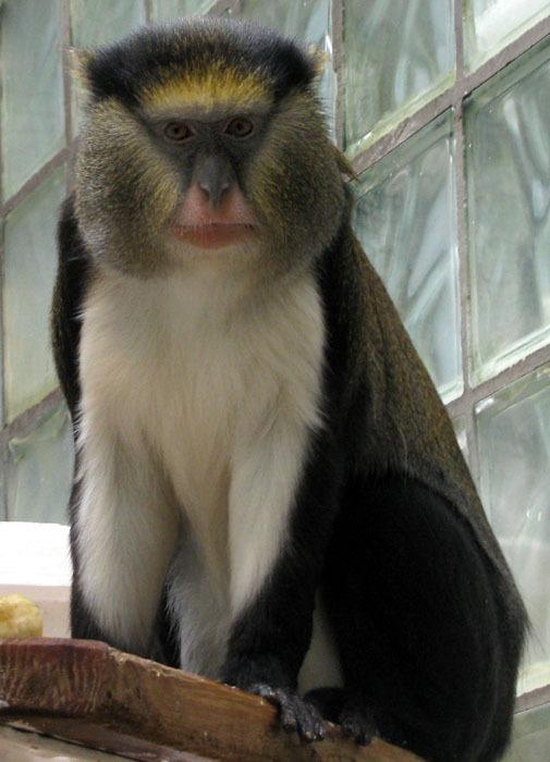Kočkodan Campbellův (Cercopithecus campbelli)