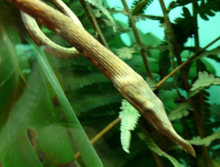 langaha listonosá (Langaha madagascariensis)