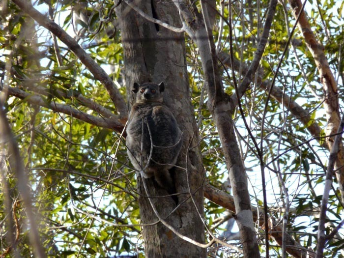 Lemur drobný (Lepilemur ruficaudatus)