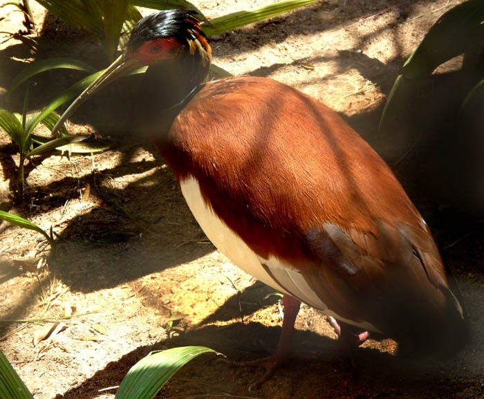 ibis madagaskarský (Lophotibis cristata)