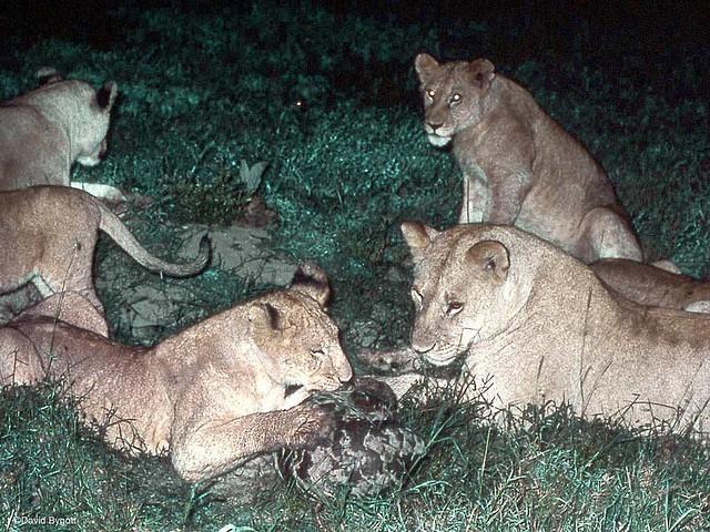 luskoun stepní (Manis temminckii) v Serengeti (autor: kibuyu)