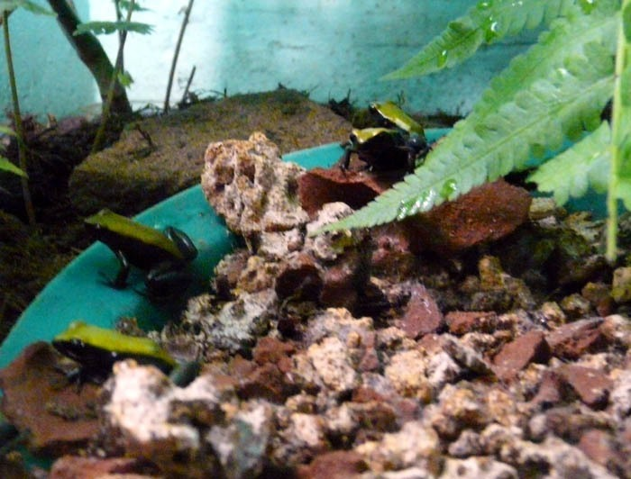 mantela modronohá (Mantella expectata)