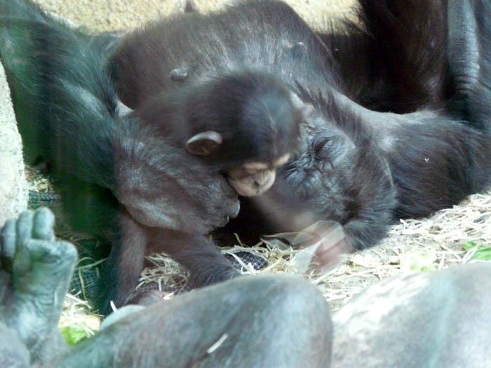 Matka pečující o mládě, Šimpanz východní ( Pan troglodytes schweinfurthii)