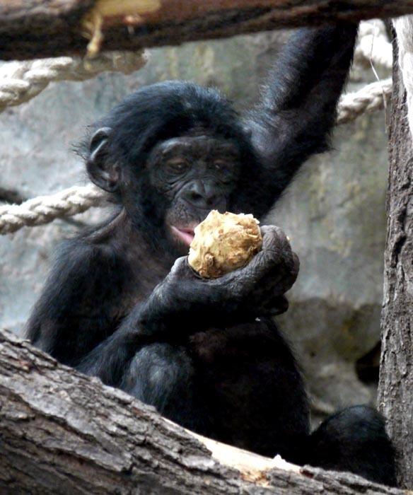 Mládě šimpanze bonobo v ZOO Frankfurt