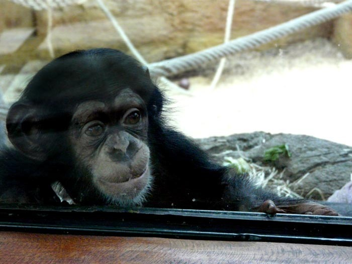 Mládě šimpanze učenlivého v ZOO Bratislava