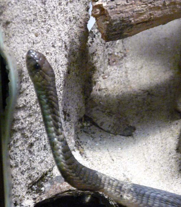 Kobra kroužkovaná hlava