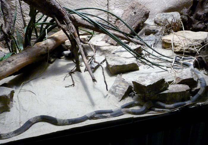 Kobra kroužkovaná