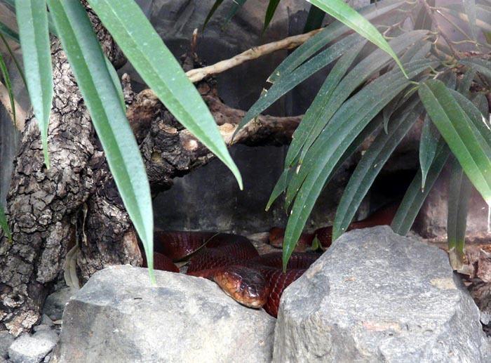 kobra červená jižní