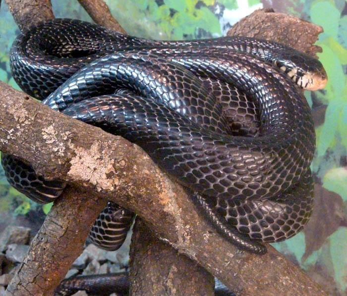 Kobra černá odpočívá