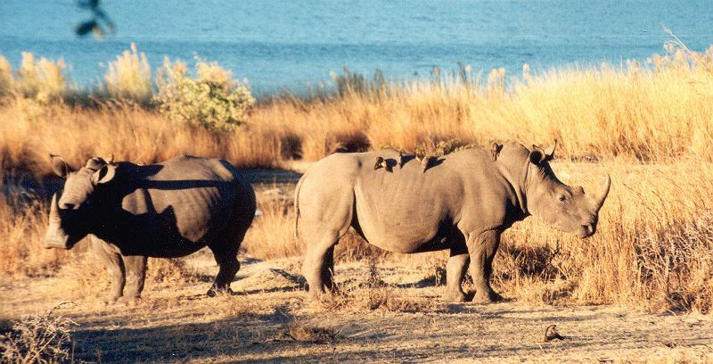 Nosorožec tuponosý (Ceratotherium simum) s klubáky v Matobo National Park, Zimbabwe