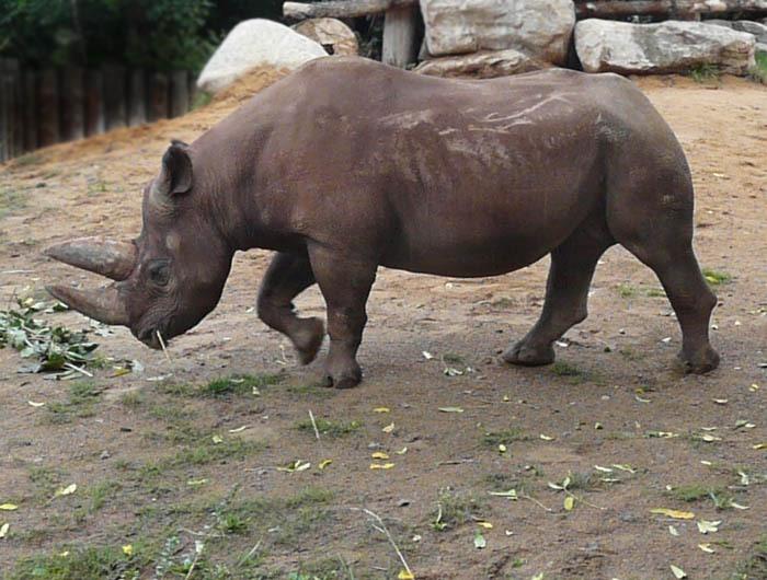 Nosorožec dvourohý jižní (Diceros bicornis minor), Zoo Frankfurt