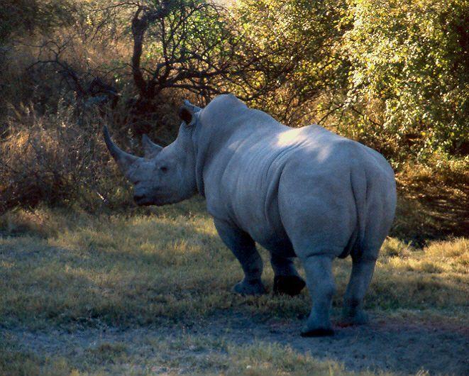 Nosorožec tuponosý - bílý (Ceratotherium simum) v Khama Rhino Sactuary, Botswana