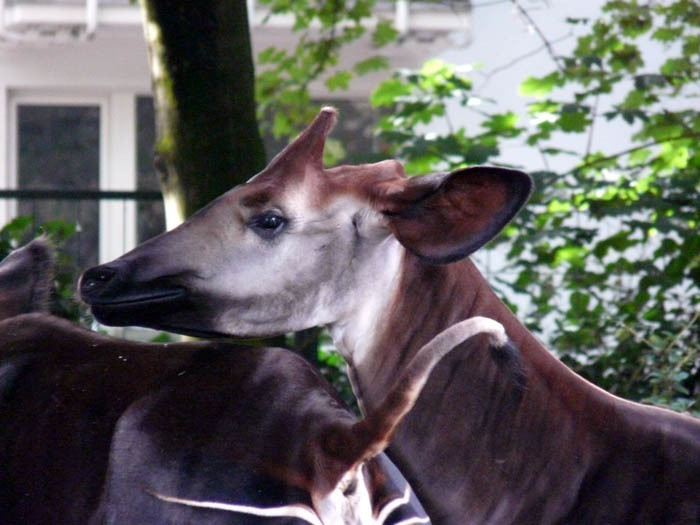 Okapi pruhovaná (Okapia johnstoni), Zoo Frankfurt