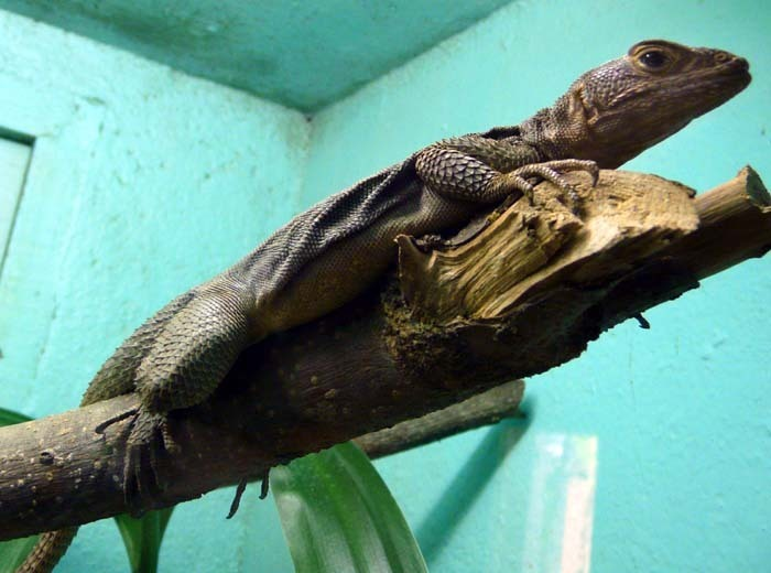Leguánek madagaskarský (Oplurus quadrimaculatus)