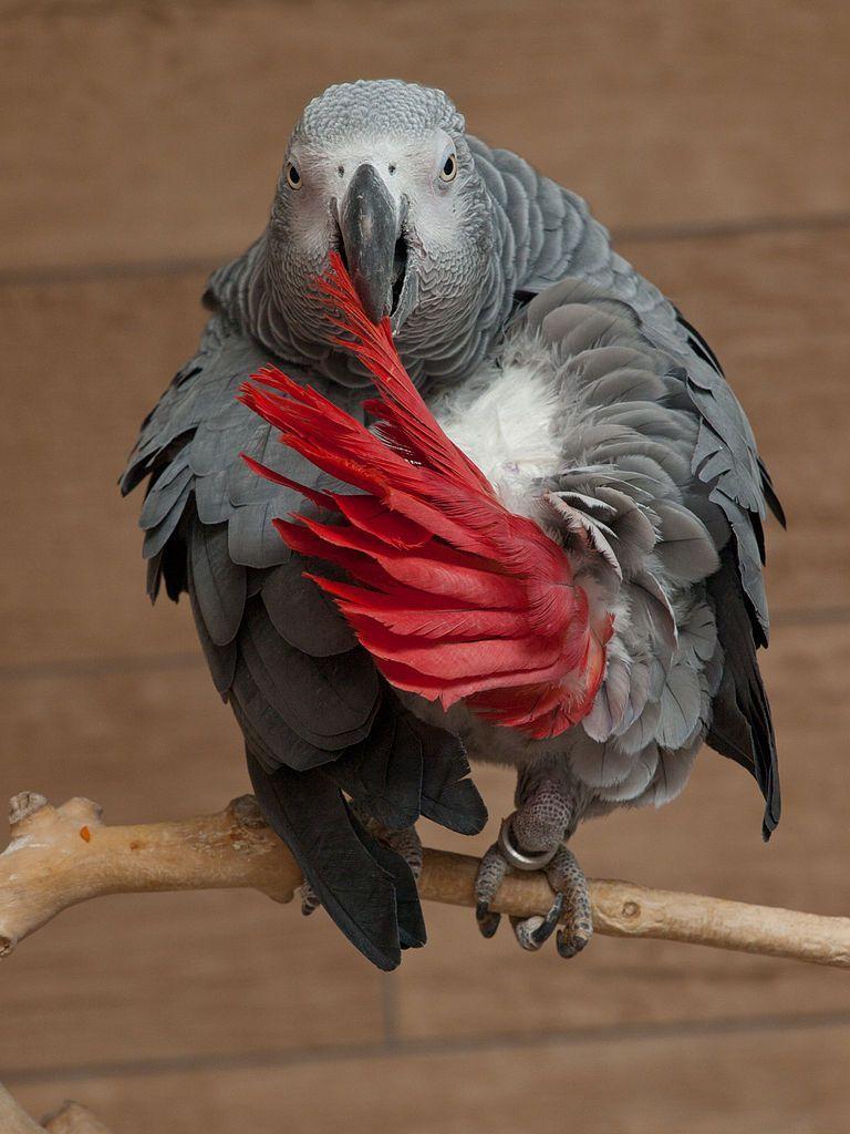 Papooga: žako konžský