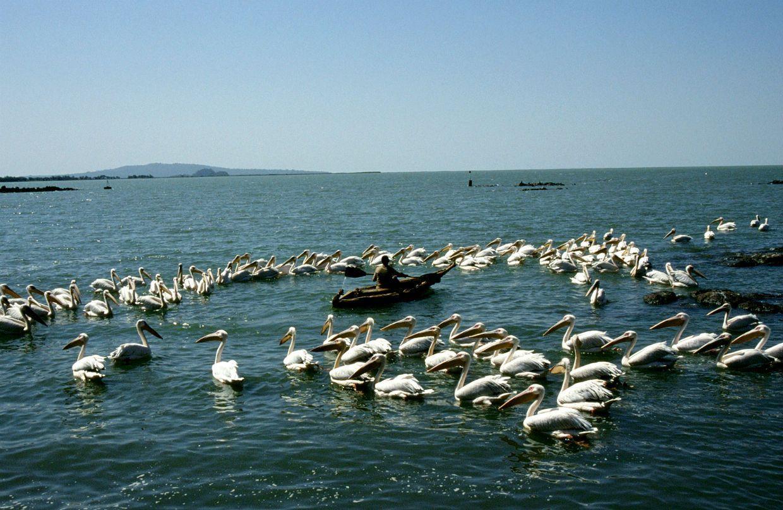 Pelikáni na jezeře Taba (Bahir Dar, Etiopie)