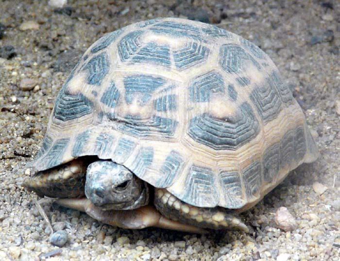 želva ploskoocasá (Pyxis planicauda)