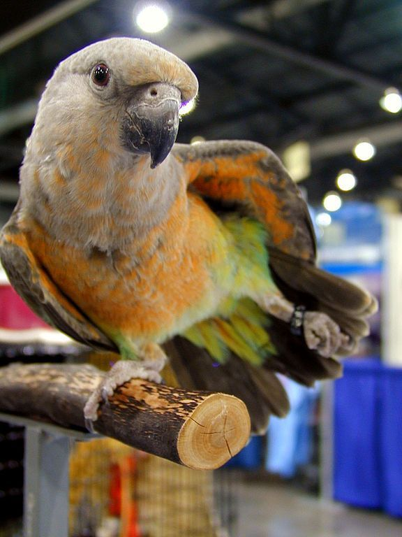 Ruth Rogers: papoušek červenobřichý sameček