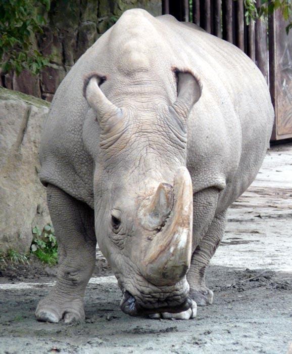 Súdán; Nosorožec tuponosý severní (Ceratotherium simum cottoni)