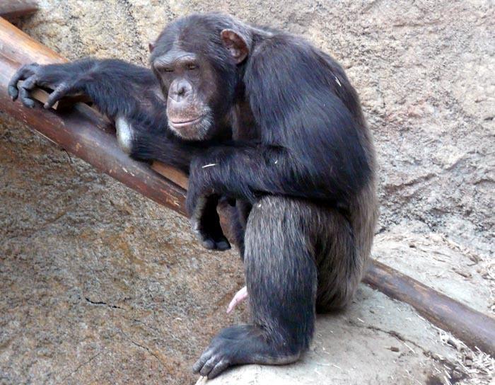 Šimpanz východní ( Pan troglodytes schweinfurthii), Bratislava